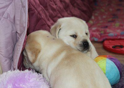 Faithful Paws Labrador Retriever
